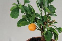 橘树 图库摄影