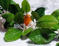 橙树分支、叶子、果子和花 图库摄影