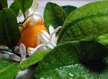 橙树分支、叶子、果子和花3 免版税库存照片