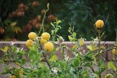 橙树叶子 免版税库存图片