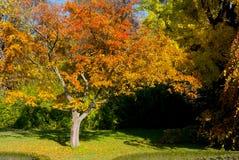 橙树在公园在秋天 免版税图库摄影