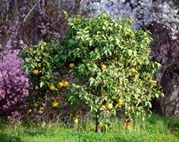 橙树在塞浦路斯 免版税库存图片