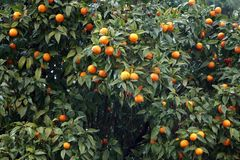 橙树在意大利 免版税库存图片
