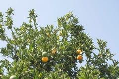 橙树在种植园 库存图片