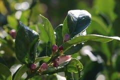 橙树开花和叶子 免版税库存图片