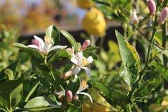 橙树开花 库存照片