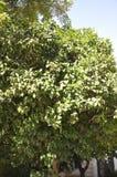 橙树用从雅典的果子在希腊 库存图片