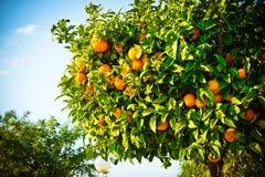 橙树用成熟果子和鲜绿色的叶子,生长在西班牙城市的街道上 免版税库存图片