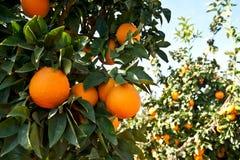 橙树用成熟橙色果子 免版税图库摄影