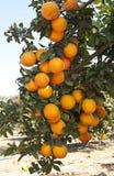 橙树用成熟橙色果子 免版税库存照片