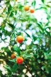 橙树用整个果子 在分支与绿色叶子,阳光作用的新鲜的桔子 背景概念框架沙子贝壳夏天 复制空间 库存照片