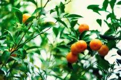 橙树用整个果子 在分支与绿色叶子,阳光作用的新鲜的桔子 背景概念框架沙子贝壳夏天 复制空间 免版税库存照片