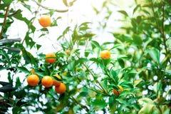 橙树用整个果子 在分支与绿色叶子,阳光作用的新鲜的桔子 背景概念框架沙子贝壳夏天 复制空间 免版税图库摄影