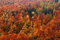 橙树 秋天森林,在小山,橙色橡木,加拿大桦,绿色云杉,漂泊瑞士国家公园, Czec的许多树 免版税库存图片