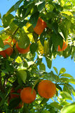 橙树 免版税库存图片