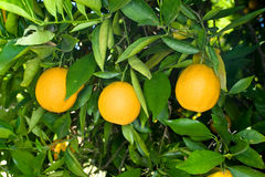 橙树 免版税库存照片