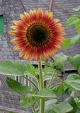 橙红向日葵 免版税库存照片