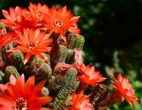橙红开花的仙人掌 库存照片