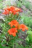 橙红百合开花 库存图片