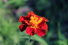 橙红色的法国万寿菊 免版税库存照片