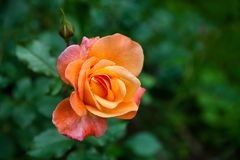 橙红色罗斯 免版税图库摄影