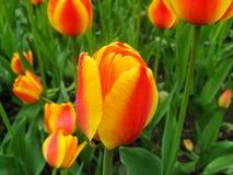 橙红郁金香充满活力的五颜六色的背景  免版税库存照片