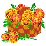 橙色万寿菊明亮的花束在一个小柳条筐的在白色背景 皇族释放例证