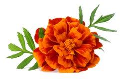 橙色万寿菊花, Tagetes erecta,墨西哥万寿菊,阿兹台克万寿菊,在白色背景隔绝的万寿菊 免版税图库摄影