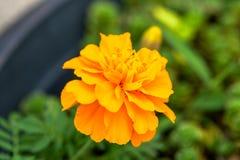 橙色万寿菊花 库存照片