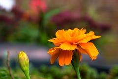 橙色万寿菊花 库存图片