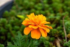 橙色万寿菊 免版税图库摄影