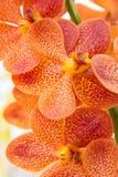 橙色万代兰属兰花 免版税库存图片