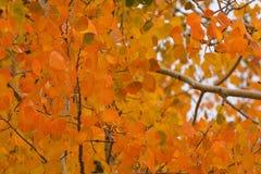 橙色亚斯本叶子 库存图片