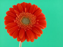 橙色俏丽 库存照片