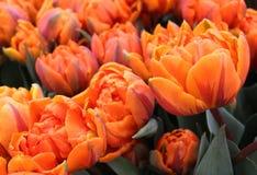 橙色公主Double Late Tulips花圃  免版税图库摄影