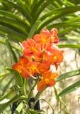 橙色兰花秀丽  免版税库存照片