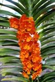 橙色兰花 免版税图库摄影