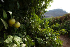 橙色内盖夫加利利的树丛 库存照片