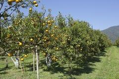橙色农场 库存照片