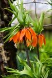 橙色冠皇家百合在庭院里开花fritiallaria imperialis 免版税图库摄影