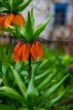 橙色冠皇家百合开花fritiallaria imperialis  免版税库存图片