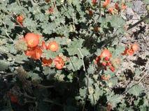 橙色冬葵生长的顶视图 库存图片
