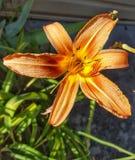 橙色卷丹 库存图片