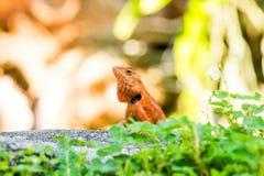 橙色变色蜥蜴 图库摄影