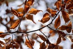 橙色叶子从下面在冬天或秋天的一个晴天 图库摄影