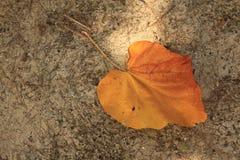 橙色叶子变动颜色在季节之前 免版税库存图片
