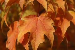 橙色叶子在秋天 免版税图库摄影