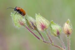 橙色叶子甲虫 库存照片