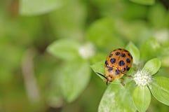橙色叶子甲虫 库存图片