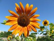 橙色向日葵和蓝天 库存照片